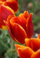 Duchesse de Parma tulip, 1820 oldhousegardens.com