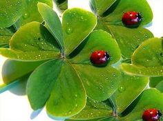 Resultado de imagem para four leaf clover and ladybug