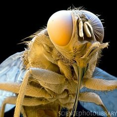 ✯ Tsetse fly Glossina sp., a blood- sucking parasitic fly of tropical Africa. The fly pierces the skin of its host with the sharp probo- scis at lower right. The tsetse fly transmits Trypanosoma protozoa, of which T. gambiense & T. rhodesiense cause sleeping sickness in humans. Both male & female flies are bloodsuckers. Their habitat is varied, ranging from forest to river banks to savanna.✯