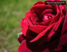 Rose Rose, Flowers, Plants, Pink, Plant, Roses, Royal Icing Flowers, Flower, Florals