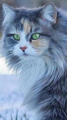Pin on Maine Coon Pin on Maine Coon Cute Baby Cats, Cute Cats And Kittens, Cute Baby Animals, Cool Cats, Kittens Cutest, Animals And Pets, Ragdoll Kittens, Tabby Cats, Funny Kittens