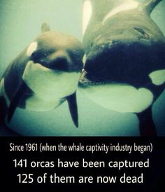 Orca's in Captivity live less than half as long as those in the wild on average. In the wild they can live 50-80 years. In captivity they're lucky to make it into their 20's