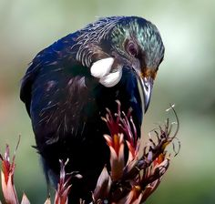 Tui in the flax - this could have been in our garden.