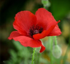 Poppy Red by AF Designs on 500px