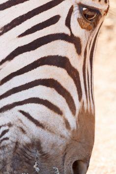 Zebra eye close up shot Close up shot of a Zebra's eye.