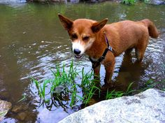 Foxy the Mixed Breed ~ DogPerDay ~ Cute puppy pictures, dog photos, cute videos, holistic pet care