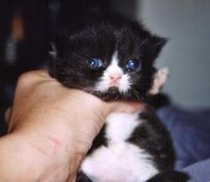 Sweetharmony's Surprise, born 27th June 2002, Persian black-white (direct Chocolate carrier)