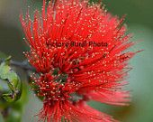 Hawaiian Red Powderpuff Tree Blossom is a striking image! Where would you place this image in your home or business?