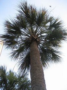 It's not a palm tree....It's a Palmetto tree...there's no place like home!