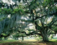 %22The%20Dreaming%20Tree%22%20%20%20Louisiana%2C%20USA%20%20%20%20%20%20%20%0D%0DCurrent%20Available%20Sizes%0D%0D16x20%20Open%20Edition%0D22x28%20-%2030x40%20-%2043x54%20%20Limited%20%26%20Artist%20Proofs%0D%0D%0DOpen%20Edition%20%28Unlimited%29%0DLimted%20Edition%20of%20300%0DArtist%20Proofs%20Limited%20to%2025%0D%0D%0D
