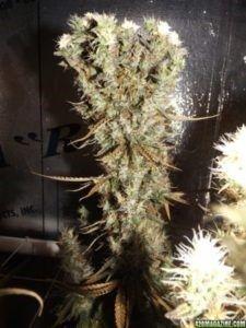 actingstrains:    ganjafanatic:    sativa  http://marijuanaproducts.nl/free-grow-bible