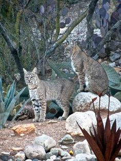 Ah, life in the Sonoran Desert. This photo of bobcats was taken by J. Brooks of Tucson (uploaded to KVOA.com on Jan. 15, 2013).