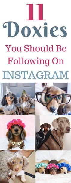 Who doesn't love dachshunds?These doxies have amazing pictures! See long haired, dapple, miniature, wirehaired and mix weiner dogs. Piebald Dachshund, Dachshund Facts, Long Haired Dachshund, Dachshund Mix, Funny Dachshund, Funny Dogs, Dachshunds, Dachshund Costume, Dachshund Clothes