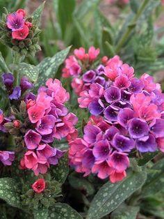 69 Best Zone 7 Shade Perennials Images Garden Plants Outdoor