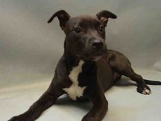 TO BE DESTROYED - 03/19/16 - **PUPPY ALERT** - SQUIGGLE - #A1067343 - Urgent Brooklyn - FEMALE BLACK/WHITE AM PIT BULL TER MIX, 5 Mos - STRAY - NO HOLD Intake 03/11/16 Due Out 03/14/16 - VERY SWEET GIRL, EASY TO HANDLE, PLAYFUL - CAME IN WITH SQUEEKY #A1067342