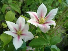 The Clematis Andromeda has good sized semi-double flowers of pink and white, flowering in May, June and again in September. You can grow Clematis Andromeda in the ground or in a pot. White Plants, Border Design, Nocturne, Shade Garden, Pink Stripes, Large White, White Flowers, Shades, Pure Products