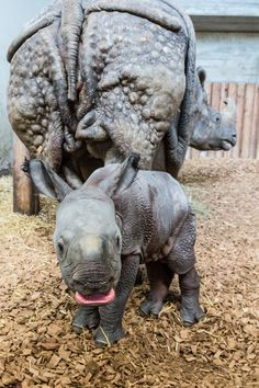 Meet Orys, the 35th Indian Rhino calf born at Basel Zoo.  He's the next link in saving this Vulnerable species from extinction.  Learn more at ZooBorns.com and at http://www.zooborns.com/zooborns/2017/01/rhino-calf-is-35th-for-basel-zoo.html