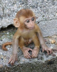 baby rhesus monkey…oh my goodness…it's just soooooo cute!!!!!!!!!! :D
