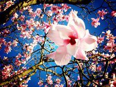 Cherry Blossom, Sakura, Japan