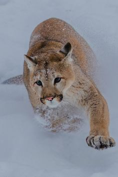 Moving Cougar by NaturesFan1226