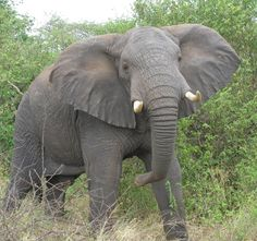 Africa's Big 5 Facts and Information: African Elephant (Loxodonta africana)