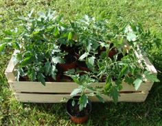 edible garden in pots Garden Planters, Indoor Garden, Outdoor Gardens, Tomato Garden, Vegetable Garden, Culture Tomate, Potager Bio, Permaculture Design, Self Watering Planter