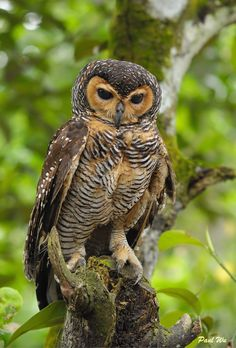 Spotted Wood Owl: An owl of the earless owl genus, Strix. It occurs in many regions surrounding Borneo, but not on that island itself.      (photo by southern wings)