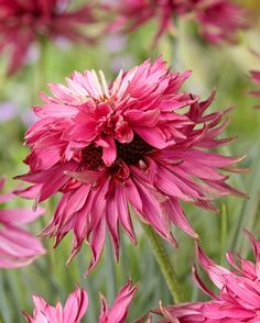 Echinacea (Coneflower) Red Baron