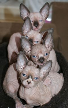 ֎ΛΜ֍ ™   ❤️ Sphynx ❤️ cats. Love these cats.                                                                                                                                                     More