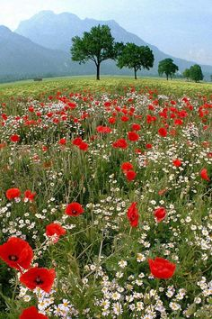 meadow: poppies and daisies Wild Flower Meadow, Wild Flowers, Field Of Flowers, Field Of Poppies, Flowers Nature, Red Poppies, Beautiful World, Beautiful Gardens, Nature Pictures