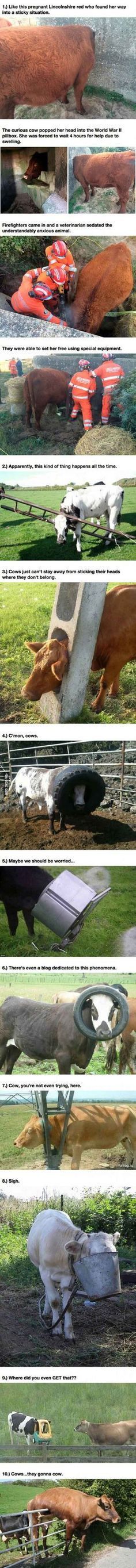 Cows I CANT EVEN
