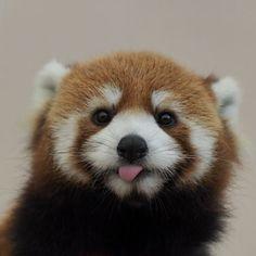 Red panda at the Adventure World in Wakayama prefecture, Japan. I love red pandas. Cute Creatures, Beautiful Creatures, Animals Beautiful, Cute Baby Animals, Animals And Pets, Funny Animals, Amor Animal, Mundo Animal, Panda Love