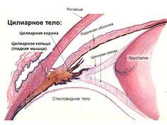 Строение цилиарного тела
