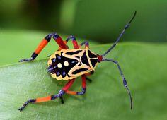 Hemiptera - Shield Bugs, Assassin Bugs