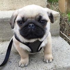 Stairs are hard when you're this small!! Tag a friend who loves pugs too! Original by @handsome_henry_pug