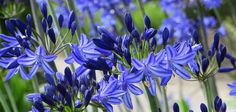 Flower bulbs and plants online from Peter Nyssen
