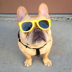 #tbt to the days when I was a bouncer. I'll need a password or a fistfull of turkey jerky if you wanna get in. #hamlin #hamlinthefrenchie #frenchbulldog #sunglasses #ootd #noneshallpass