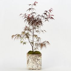 Pung kil Japanese Maple--suggested Father's Day gift from Terrain.