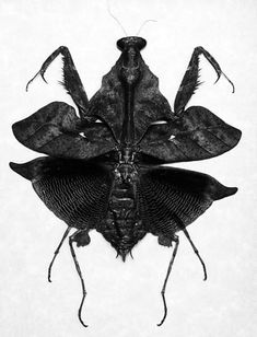 wouldn't want to meet this one in an alley Darth Vader mantis Yikes. wouldn't want to meet this one in an alley Cool Insects, Bugs And Insects, A Bug's Life, Wild Life, Beautiful Bugs, Amazing Nature, Mantis Religiosa, Cool Bugs, Butterflies