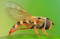 Pożyteczne owady cz.3 - Bzygowate i złotooki | OgrodnikLeszek.pl - blog ogrodniczy