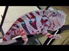 √ 5 Different Types of Chameleons Diferentes tipos de camaleones # Camaleones Reptiles Et Amphibiens, Cute Reptiles, Mammals, Veiled Chameleon, Chameleon Lizard, Animals And Pets, Baby Animals, Cute Animals, Types Of Chameleons