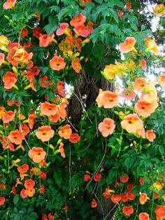 10 Climbing Vines Thatll Beautify Your Garden Climbing flowering vines - Modern Climbing Flowering Vines, Climbing Flowers, Climbing Vines, Flowering Plants, Rock Climbing, Garden Design Ideas On A Budget, Small Garden Design, Garden Ideas, Growing Flowers