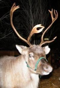 le vere renne di Babbo Natale
