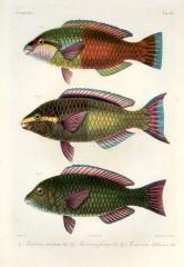 SCAROIDEI - Pseudoscarus dimidiatus, frenatus, balinensis - PARROTFISH print Rare Fish, Oriental, Fish Print, Pacific Ocean, Portrait, Prints For Sale, Antiques, Antiquities, Antique