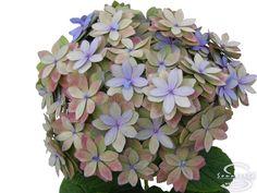 "Cut hydrangea flower ""Expression"" (Paars, Groen)"