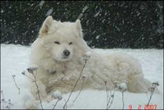 samoyed--my favorite dog of all time