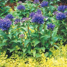 Campanula glomerata 'Purple Pixie' - clustered bellflower information**