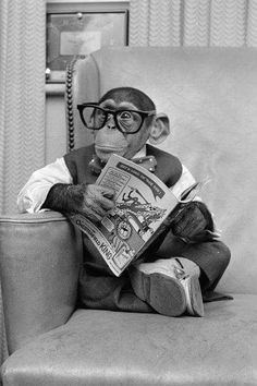 Adorable black and white photos show Kokomo Jr, a talking chimpanzee, going about his business at his New York City pad in Vintage Humor, Funny Vintage Photos, Primates, Funny Animals, Cute Animals, Clever Animals, Jungle Animals, Foto Portrait, Monkey Business