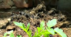 How to plant a tomato for the best harvest ever. Growing Tomato Plants, Growing Tomatoes, Growing Vegetables, Home Vegetable Garden, Tomato Garden, Planting Onions, Planting Seeds, Culture Tomate, Honey And Mustard Salad