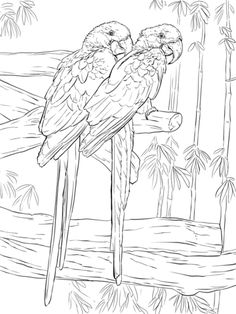 Pair Of Hyacinth Macaws Coloring Page From Macaw Category Select 25905 Printable Crafts